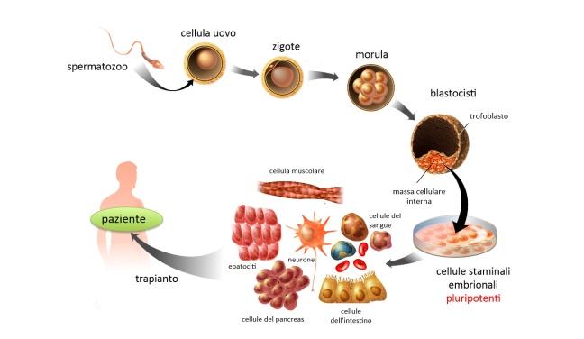 cellule-staminali-embrionali